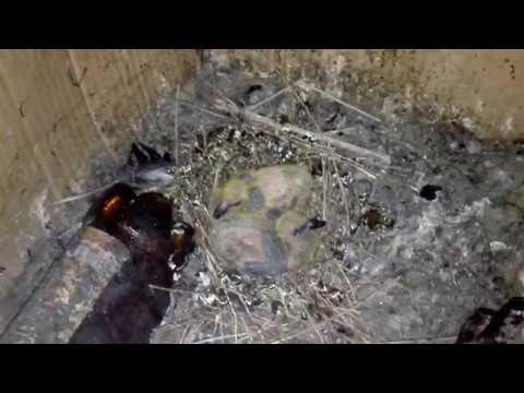 Птенцы голубей вот они