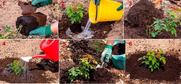 5 вариантов посадки роз