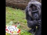 Самая старая горилла в мире