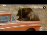 Нападение медведей на людей. Почему медведи нападают на людей - Nat geo Wild
