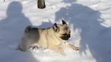 Снежные мопсо-забавы - питомник Himmell Vahe