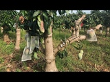 subenglish Mango tree bonsai....tehnik &amp results