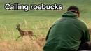 Calling roebucks in the rut by Kristoffer Clausen