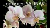 ОРХИДЕЯ Salinas (Phalaenopsis Salinas) c чертами испанскои