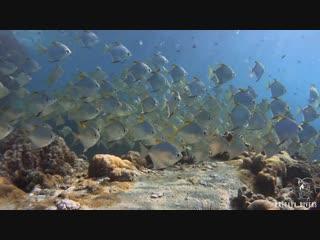 Diamondfish at Hin Luk Bat Rock   Diving Koh Chang, Thailand