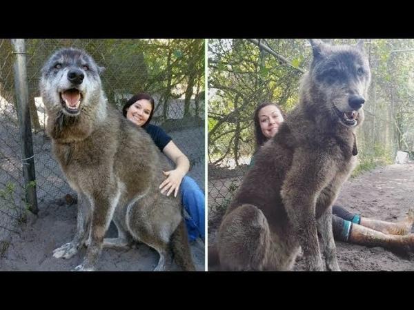 Приют спас этого огромного волкособа а затем ДНК тест показал почему он такой большой