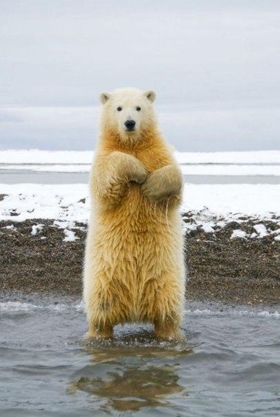 Танцующий полярный медведь / Likez.ru.