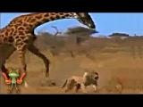 Бои животных. Жираф против льва