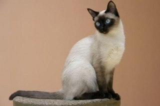 Тайская.  Сиамская.  Две породы кошек для сравнения.