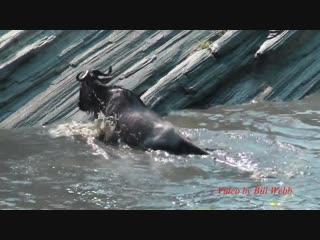 Нильский крокодил убивает антилопу гну
