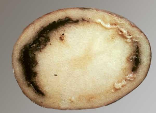 Фитофтороз, парша и кольцевая гниль картофеля