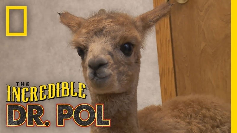 Baby Alpaca is Dazed and Confused | The Incredible Dr. Pol
