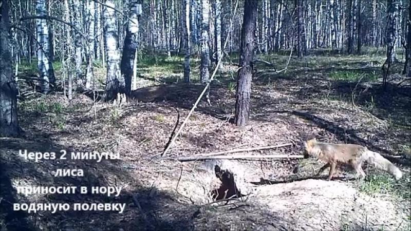 лиса у норы Керженский заповедник