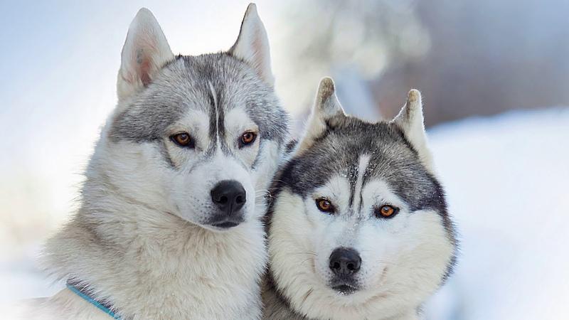 Картинка собака. Портрет, Аляскинских Маламутов. Image, chiens, portrait, alaskan, malamute, JPEG.