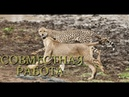Nat Geo Wild: Африка: Убийцы с фантазией. Совместная работа (1080р)
