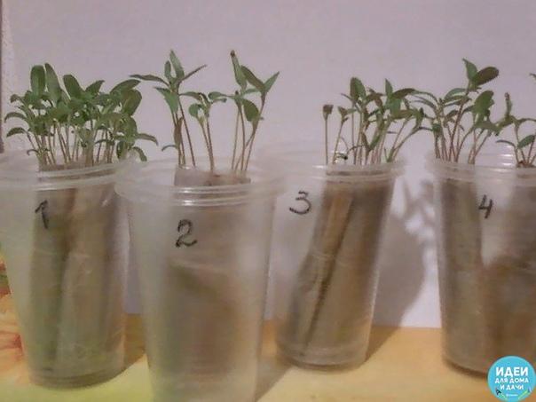 Выращиваем рассаду без земли, на полоске из целлофанового пакета