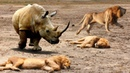 King Lion sleeping unexpected by Crazy Rhino attack, Lion lucky escape, Rhino vs Hyena