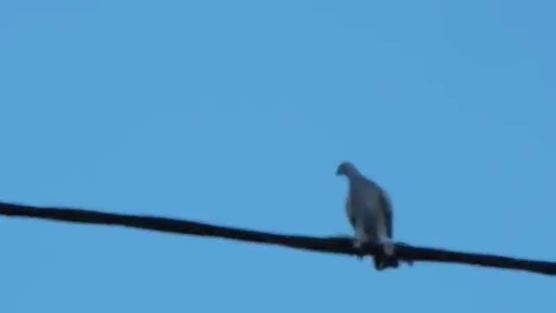 Бойный голубь разбил крылья в кровь