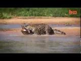 Ягуар убил крокодила