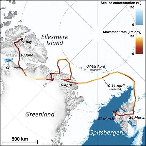 Удивительное путешествие полярной лисицы. Ученые отследили путешествие полярной лисицы, в ходе которого она за 76 дней преодолела 3506 километров, перебравшись из Норвегии в Канаду.Молодая