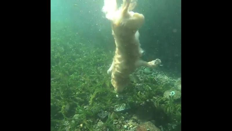 Японская собака, любящая подводное плавание
