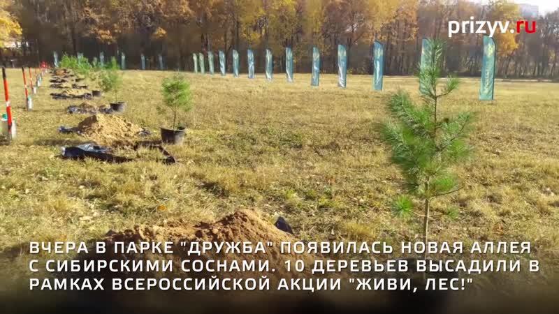 Аллея сибирских кедров