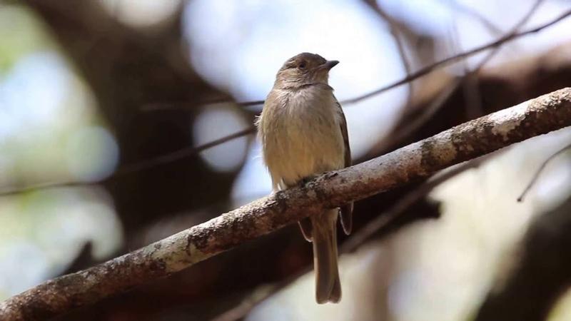 Pale-bellied tyrant-manakin / Белобрюхий мухоловковый манакин / Neopelma pallescens
