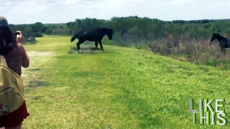 лошадь vs крокадил