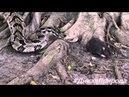Гремучая змея против крысы. Дикая природа 2015