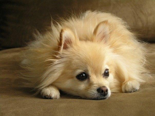 Косметика груминг для шпицев — Собачий питомник