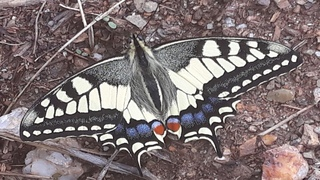 Swallowtail is basking in the sun on the stones
