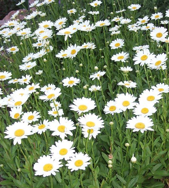 Многолетники для цветников - Ромашка