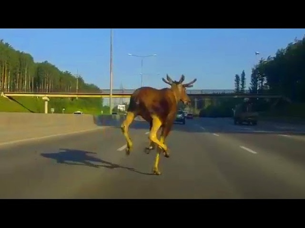 Подборка - Лесные пешеходы (Звери перебегает дорогу)