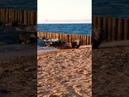 Нерпа на пляже в Зеленоградске