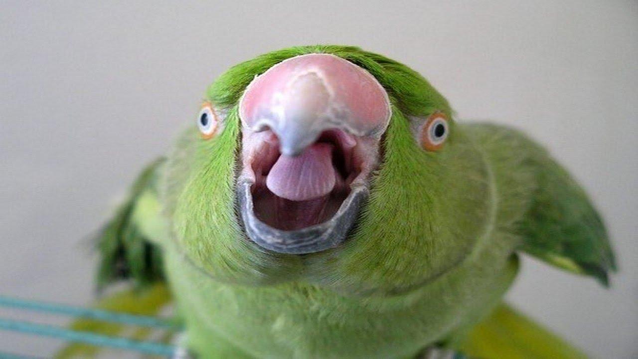 Открытки как, прикольные картинки попугаев