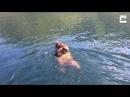 Медведица плывет с медвежатами.Река Лена.