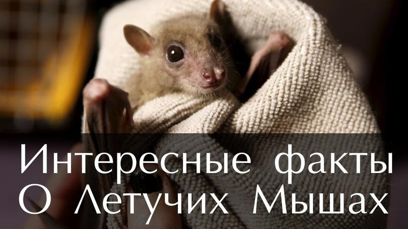 Интересные факты о Летучих Мышах Фото и Видео