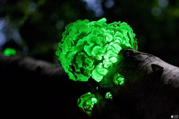 Светящиеся грибы PanellusStipticus.