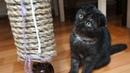 Пополнение в семье завели кошечку Черная шотландская вислоухая кошка Поляковы