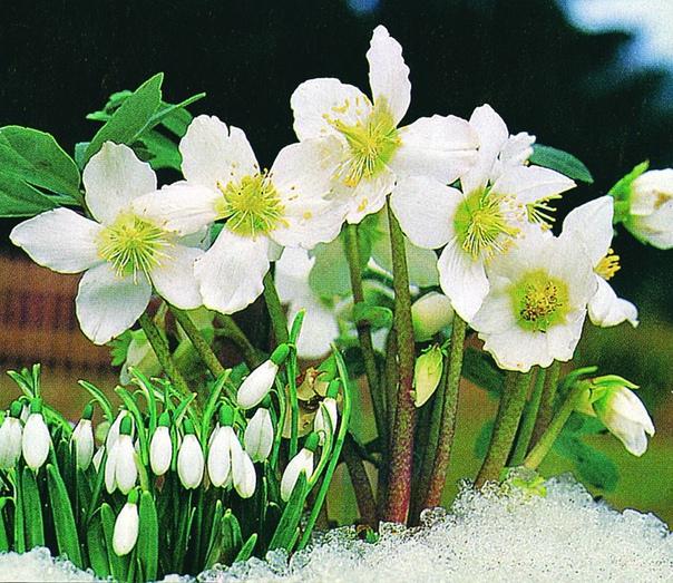 зимние цветы - морозник морозник - так называют растение, которому не страшны ни снег, ни морозы. оно может зацвести даже к рождеству, а за свою выносливость получило название морозник. его