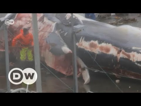 Hunting endangered fin whales in Iceland | DW English
