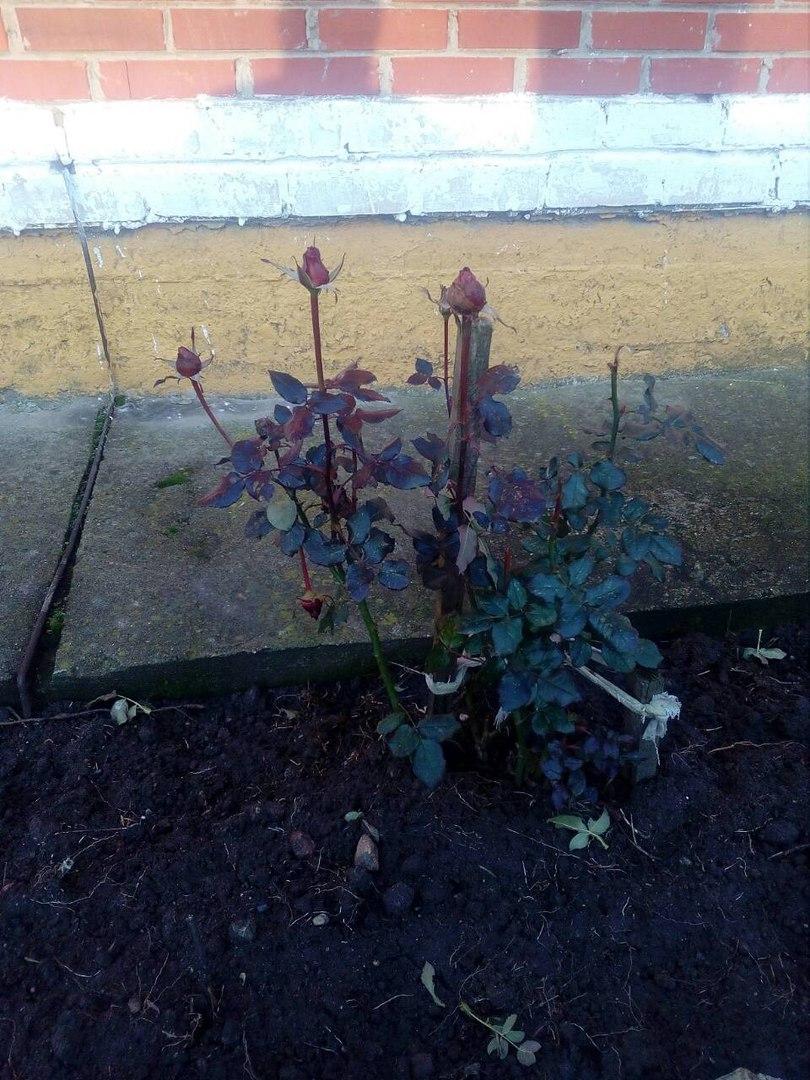 В Беларуси зацвели розы, пошли лисички и проснулись майские жуки