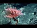 Venus flytrap sea anemone