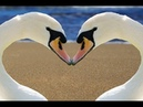 Самая Красивая Лебединая Песня Лебединая Верность А видио… Просто Прелесть