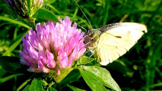 Футаж Бабочка на Цветке. Белая Бабочка на Цветке Клевера. Бабочки Видео. Футажи для видеомонтажа