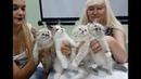 Презентация питомника сибирских кошек PCA СИБИРСКАЯ СКАЗКА
