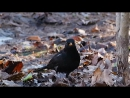 Черный дрозд