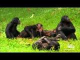 как спариваются обезьяны в африке