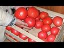 Практические советы по выращиванию помидоров в теплице