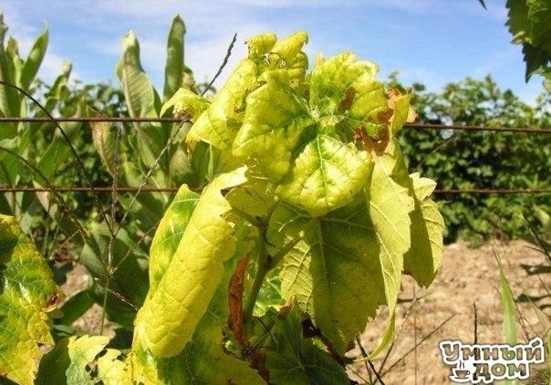 Лимонная кислота поможет от хлороза Если заметили, что ваши листья на ваших растениях вдруг ни с того ни с сего пожелтели, возможно, это хлороз. Возьмите 5 г лимонной кислоты и 8 г железного купороса. Сначала в 2 л кипяченой воды разведите 5 г лимонной кислоты. После этого добавьте железный купорос и таким раствором полейте и опрыскайте растения. В какие сроки? Сразу, как только увидите начало хлороза – пожелтение верхних листочков. А в качестве профилактики можно опрыскивать растения через…
